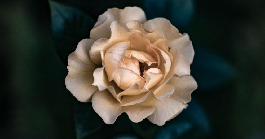 Tanaman Gardenia - 12 Jenis Tanaman Aromaterapi