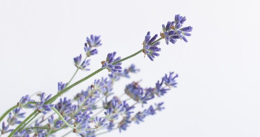 Tanaman Lavender - 12 Jenis Tanaman Aromaterapi