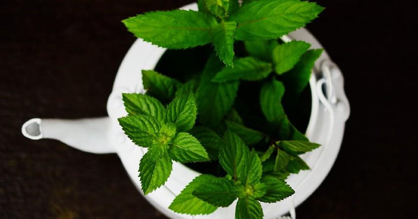 Tanaman Peppermint - 12 Jenis Tanaman Aromaterapi