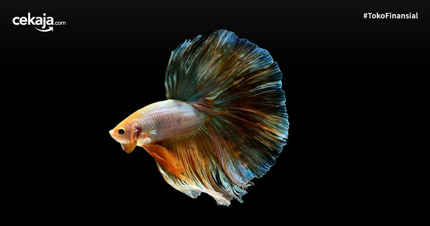 30 Ikan Hias Air Tawar yang Tidak Mudah Mati, Bisa Jadi Stress Relief!