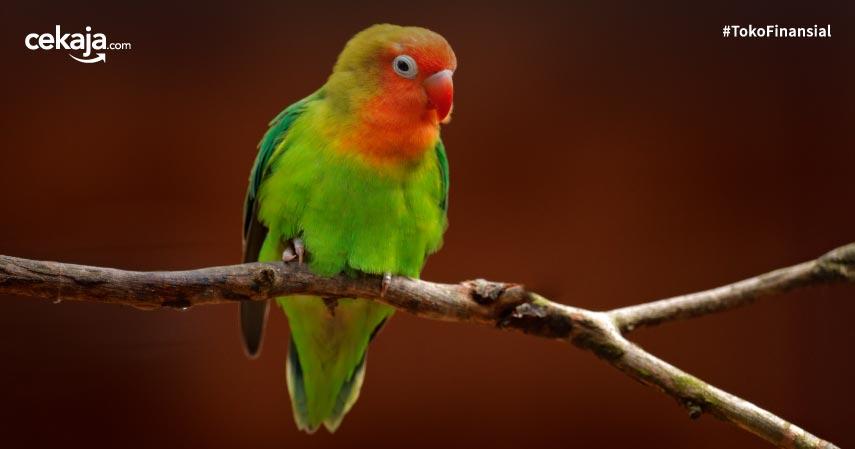 9 Jenis Burung Lovebird Paling Eksotis dan Paling Cantik