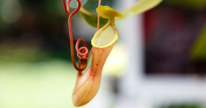 Kantong Semar - 9 Jenis Tanaman Pemakan Serangga Terbaik