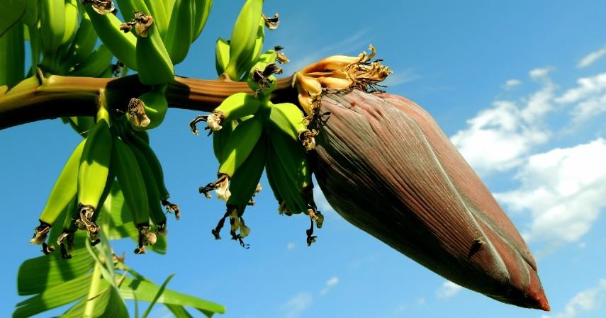 Manfaat Jantung Pisang Untuk Kesehatan - Manfaat jantung pisang untuk kesehatan