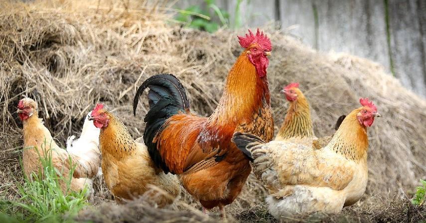 Flu Burung - Penyakit yang Ditularkan Hewan