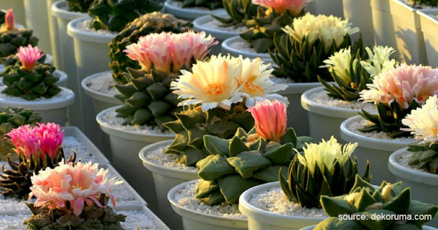Kaktus Ariocarpus - Tanaman Kaktus yang Bisa Berbunga