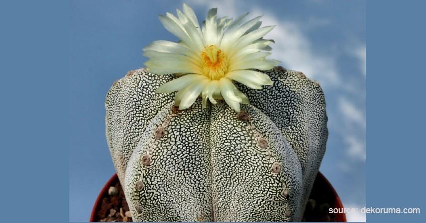 Kaktus Astrophytum - Tanaman Kaktus yang Bisa Berbunga
