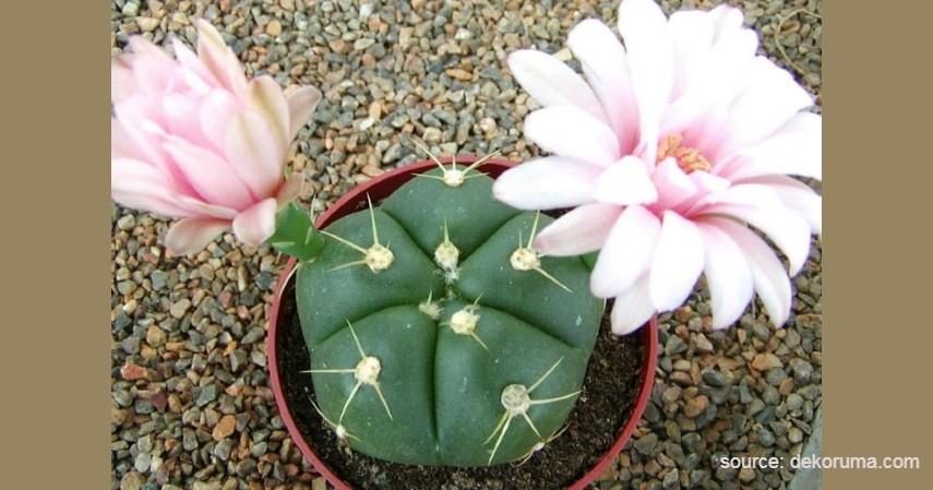 Kaktus Gymnocalycium - Tanaman Kaktus yang Bisa Berbunga