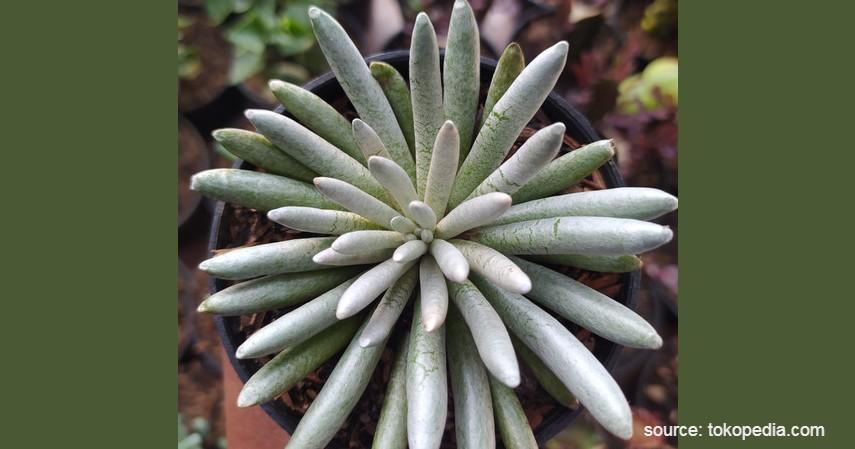 Kaktus Laba-Laba - Tanaman Kaktus yang Bisa Berbunga