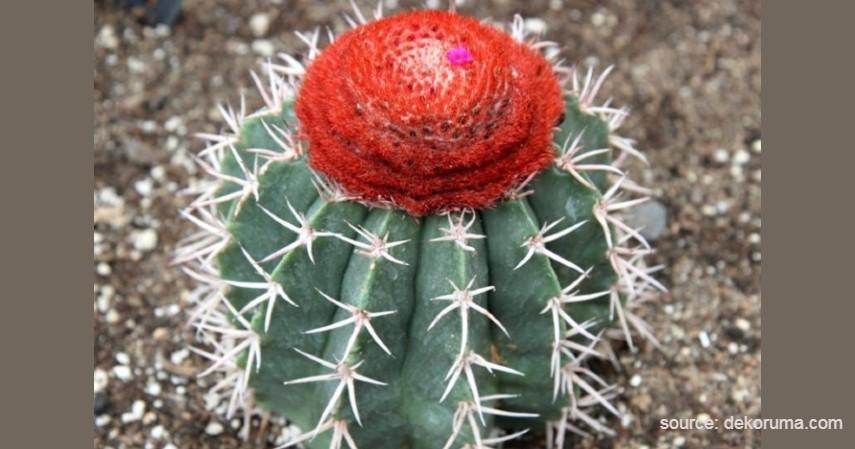 Kaktus Lobivia oganmaru - Tanaman Kaktus yang Bisa Berbunga