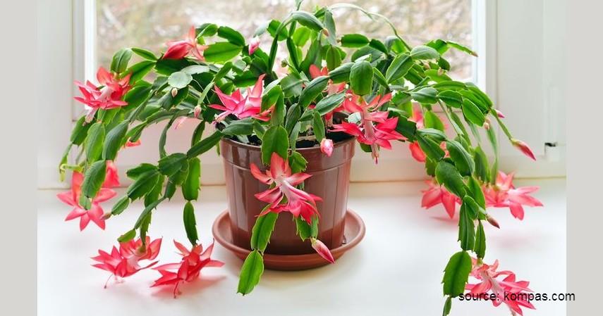 Kaktus Natal - Tanaman Kaktus yang Bisa Berbunga