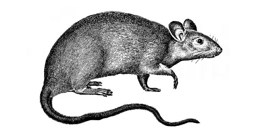 Leptospirosis - Penyakit yang Ditularkan Hewan