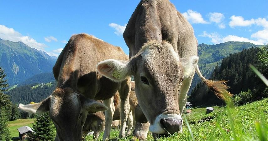 informasi lengkap hewan - Tips Bisnis Ternak Kurban dengan KTA OK Bank