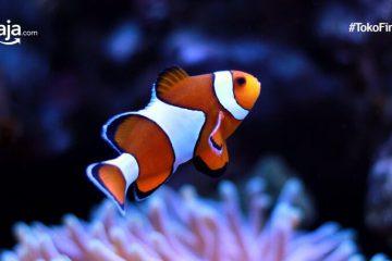 9 Tips Merawat Ikan Badut untuk Pemula